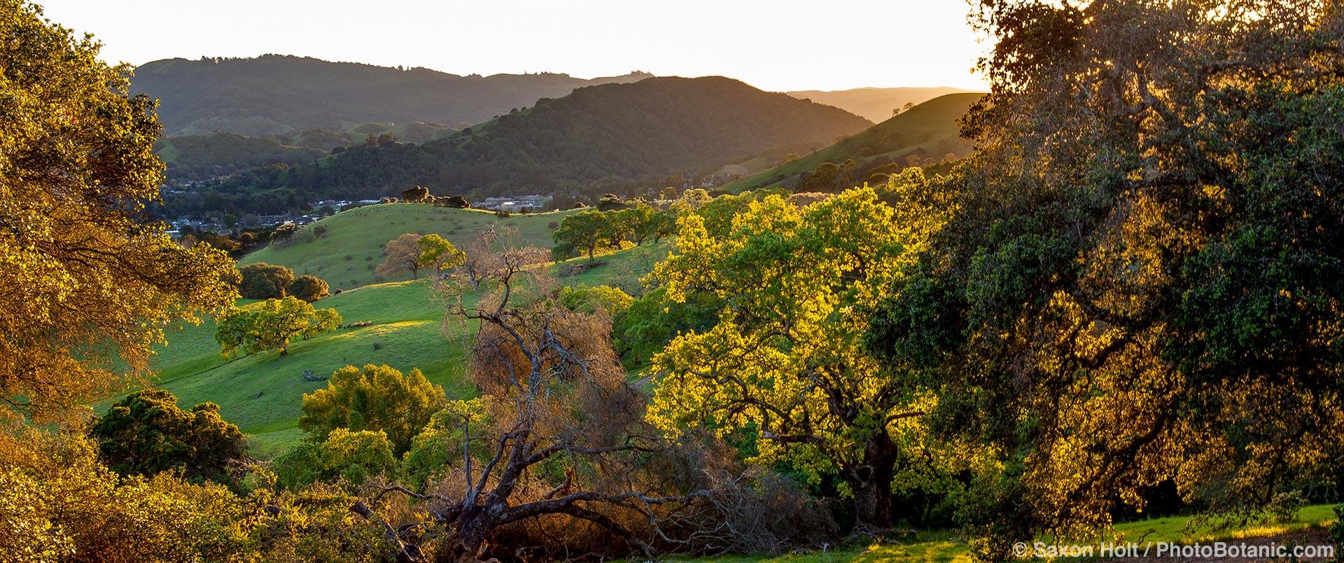 California Coastal Range with Oak trees (Quercus lobata) and rolling hills on Mt. Burdell State Park, Novato, California