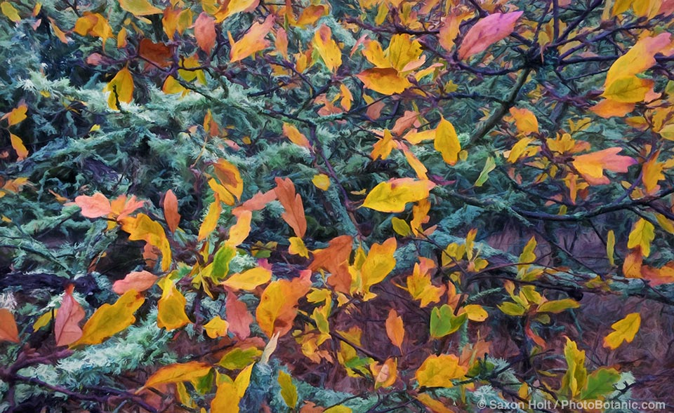 LAYERS -California native Oak, Quercus lobata with fall leaf color and lichen on branches, art