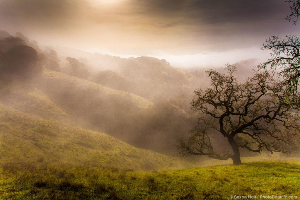 Misty morning oaks in rolling California hills, Cherry Hill, Novato