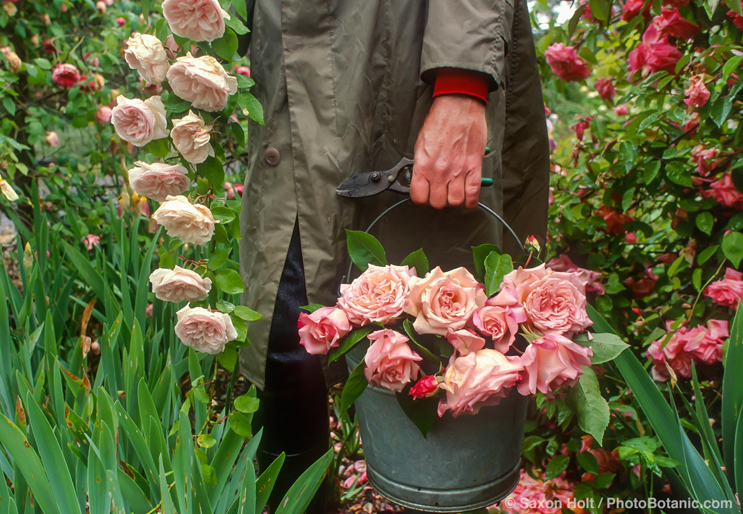 Gardener with bucket of the old rose 'Maman Cochet'; old heirloon roses on a rainy day harvest