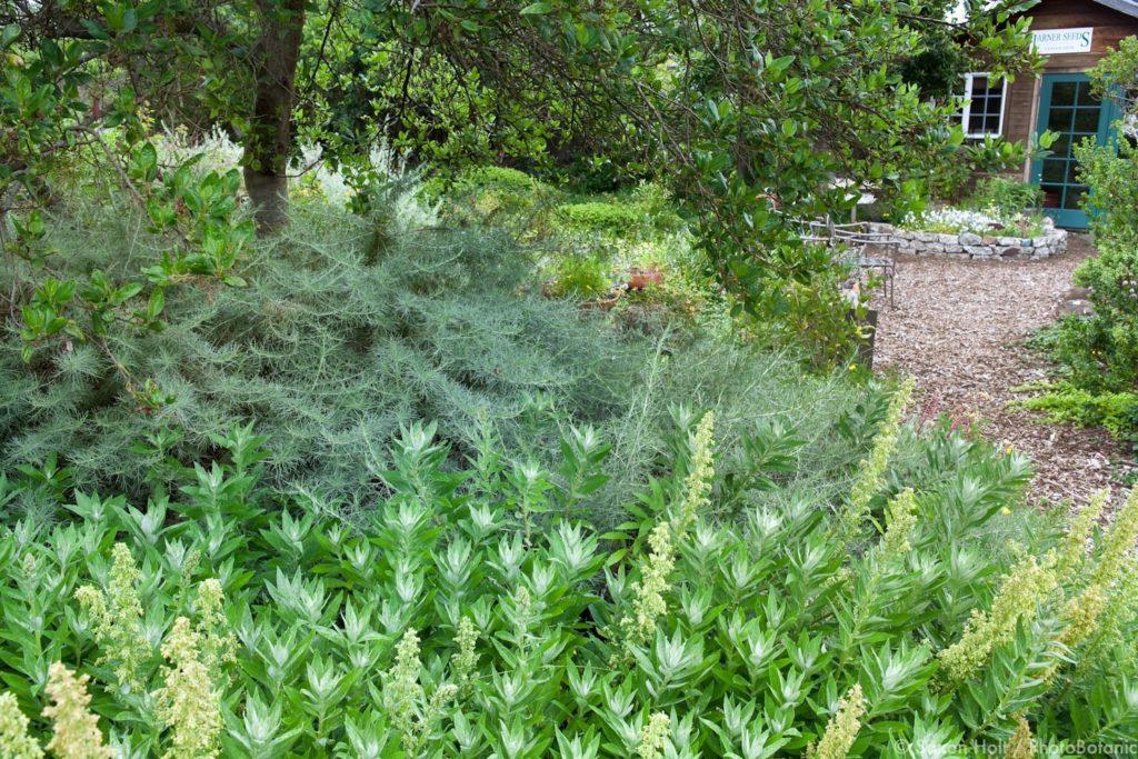 Artemisia californica, California Sagebrush behind Artemisia suksdorfii, Coastal Mugwort silver gray foliage perennials in garden bed by path in drought tolerant California native plant garden, Judith Lowry Larner Seeds