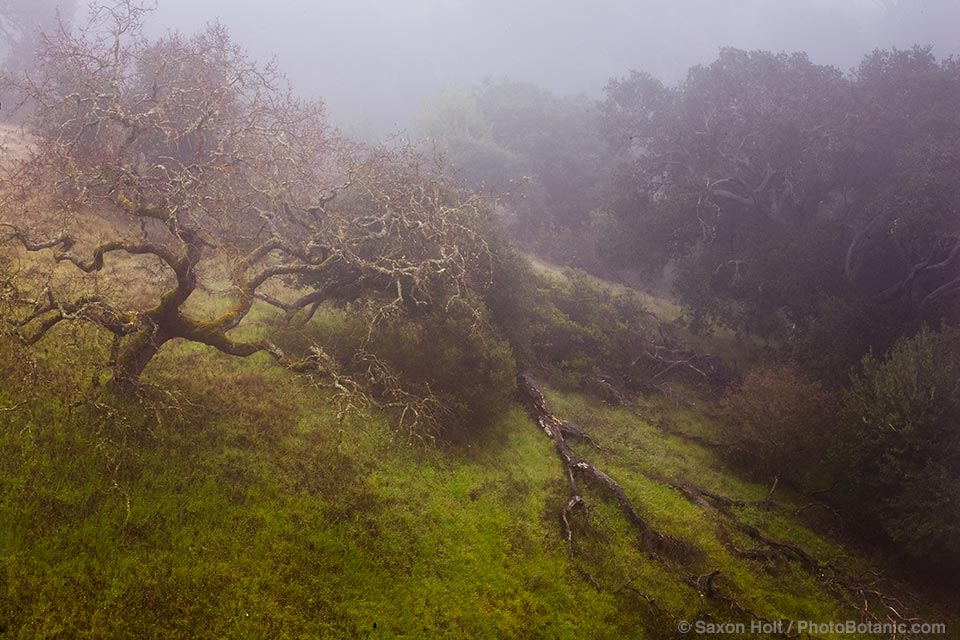 Decaying Oak in Morning Fog on Cherry Hill