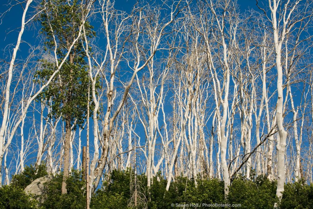 Surviving tree among burned tree trunks, white after fire against blue sky, El Dorado National Forest, California