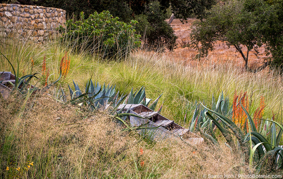 Grasses and succulents in California summer-dry meadow garden