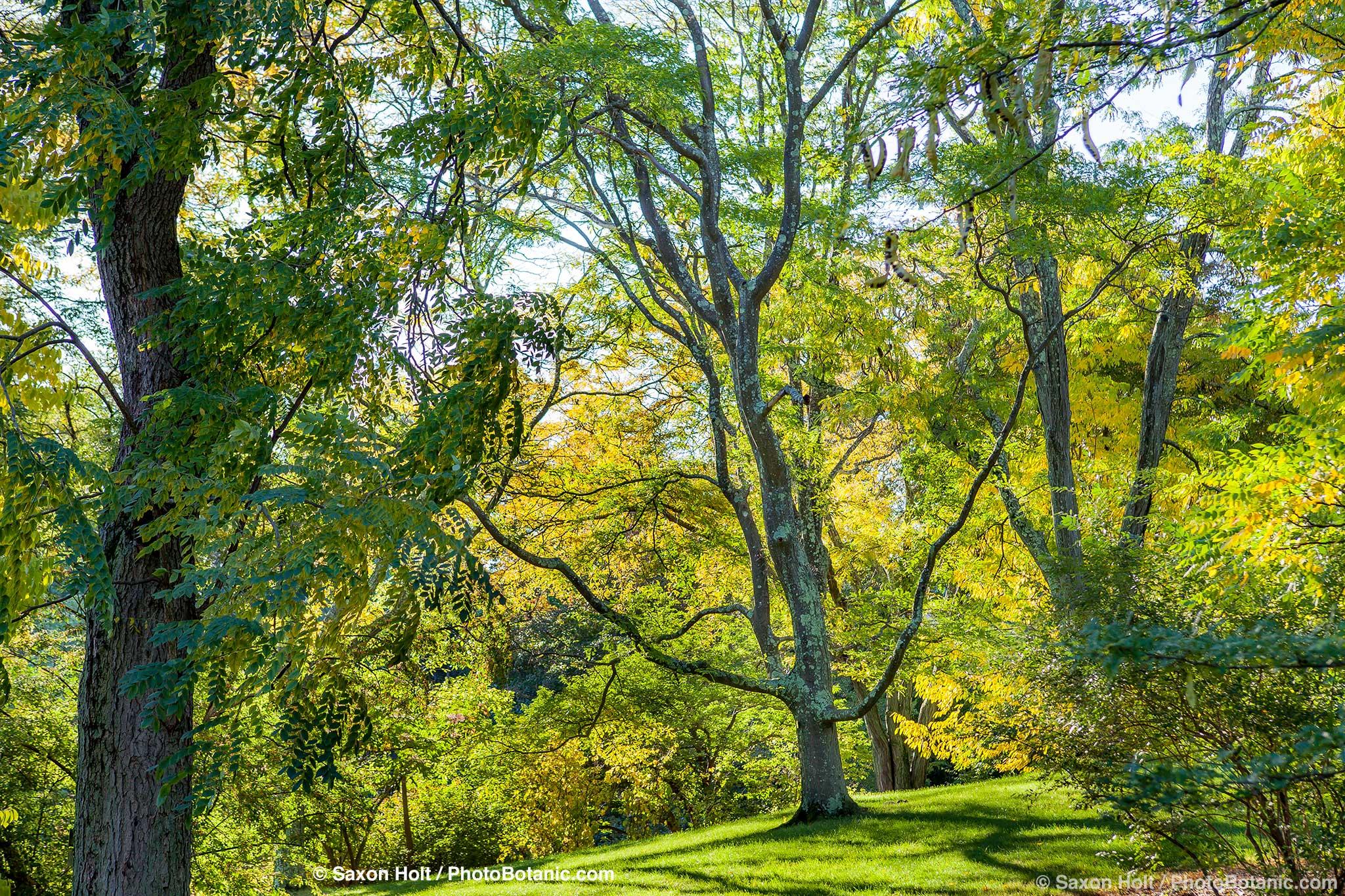 Gleditsia triacanthos, Honeylocust Tree; Arnold Arboretum