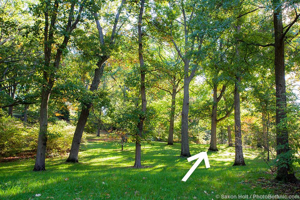 Grove of Oak trees, Arnold Arboretum