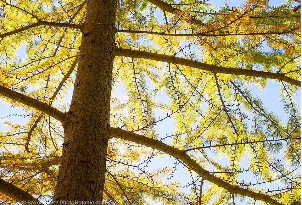 Pseudolarix amabilis - Golden Larch tree, Arnold Arboretum