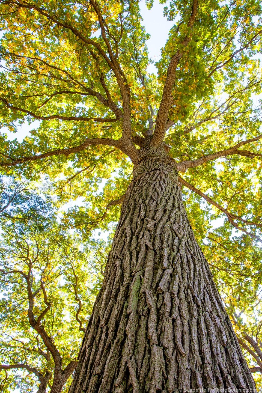 Tree arnold Arboretum