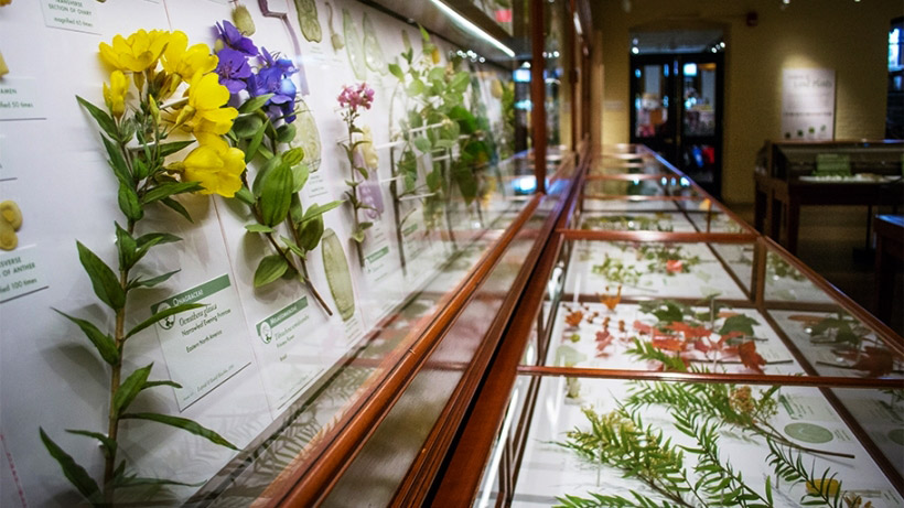 The Ware Collection of Blaschka Glass Models of Plants, Harvard Museum of Naturla History