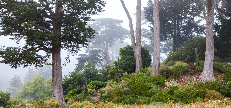 Foggy view of The Mediterranean Garden with Cypress trees; San Francisco Botanical Garden