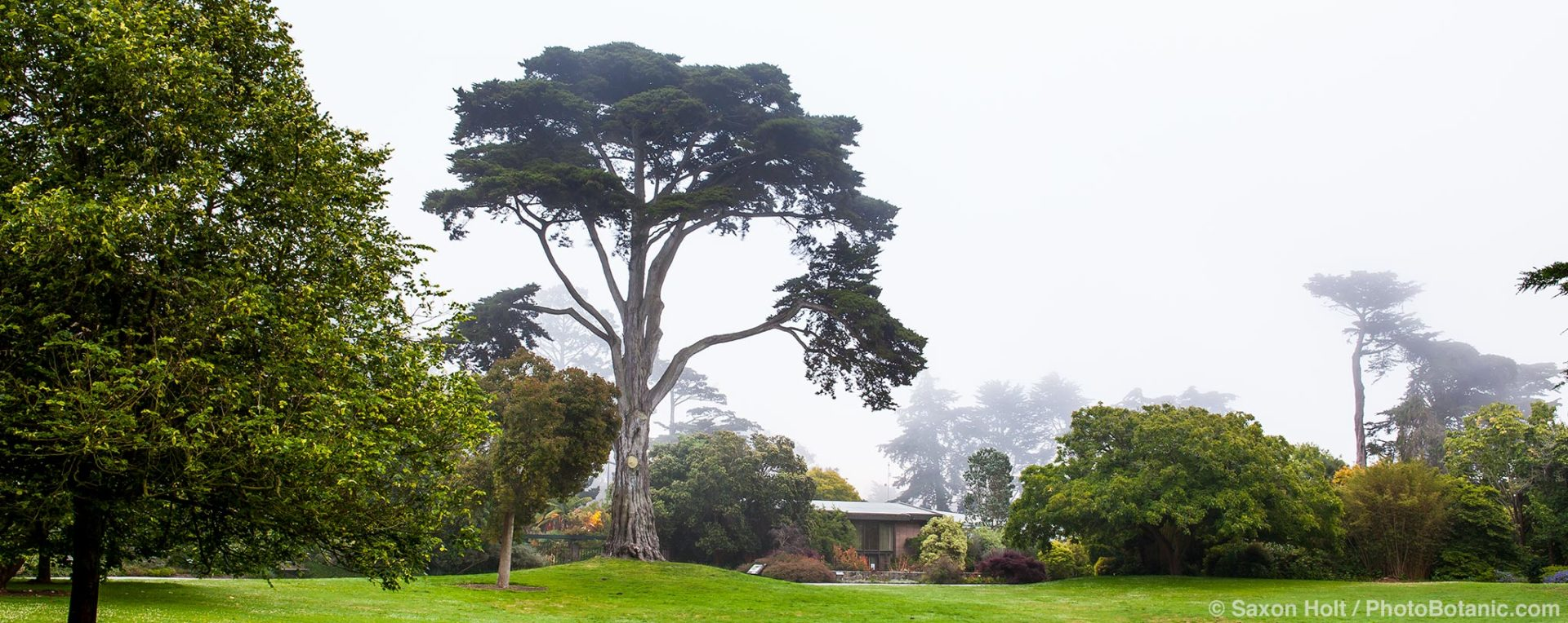 Cypress tree dominating the Great Meadow lawn at San Francisco Botanical Garden on foggy day