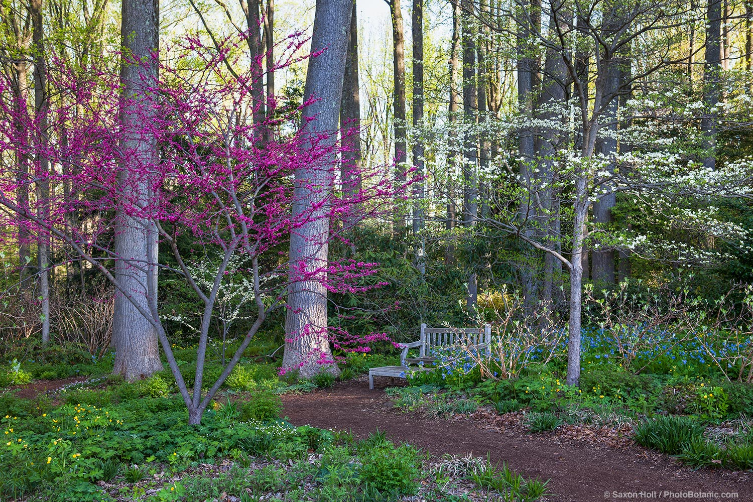Redbud tree (Cercis canadensis) flowering by pathway to woodland garden of Liriodendron tulipifera -Tulip tree with white flowering dogwoods in spring at Mount Cuba Center