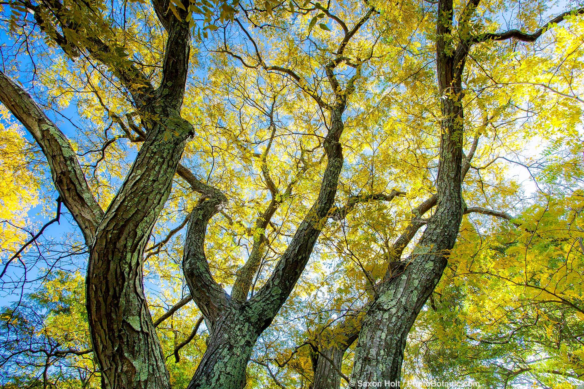 Gleditsia triacanthos 'Imperial', Honeylocust Tree; Arnold Arboretum