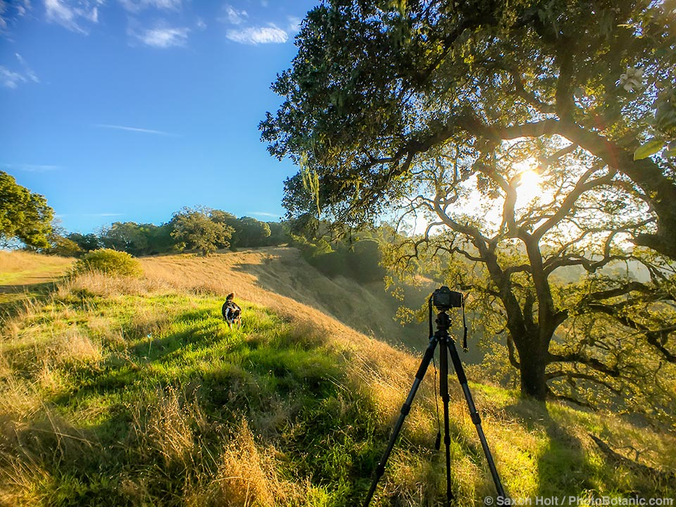 Photographing California Oaks on Cherry Hill with Kona dog running to play