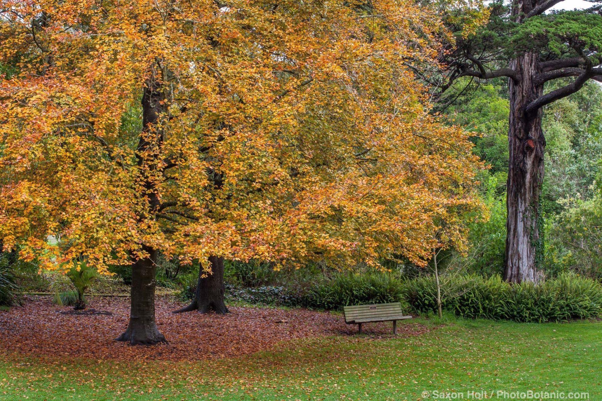 Fagus sylvatica 'Atropunicea' (syn 'Purpurea') - Copper Beech tree, fall color in San Francisco Botanical Garden