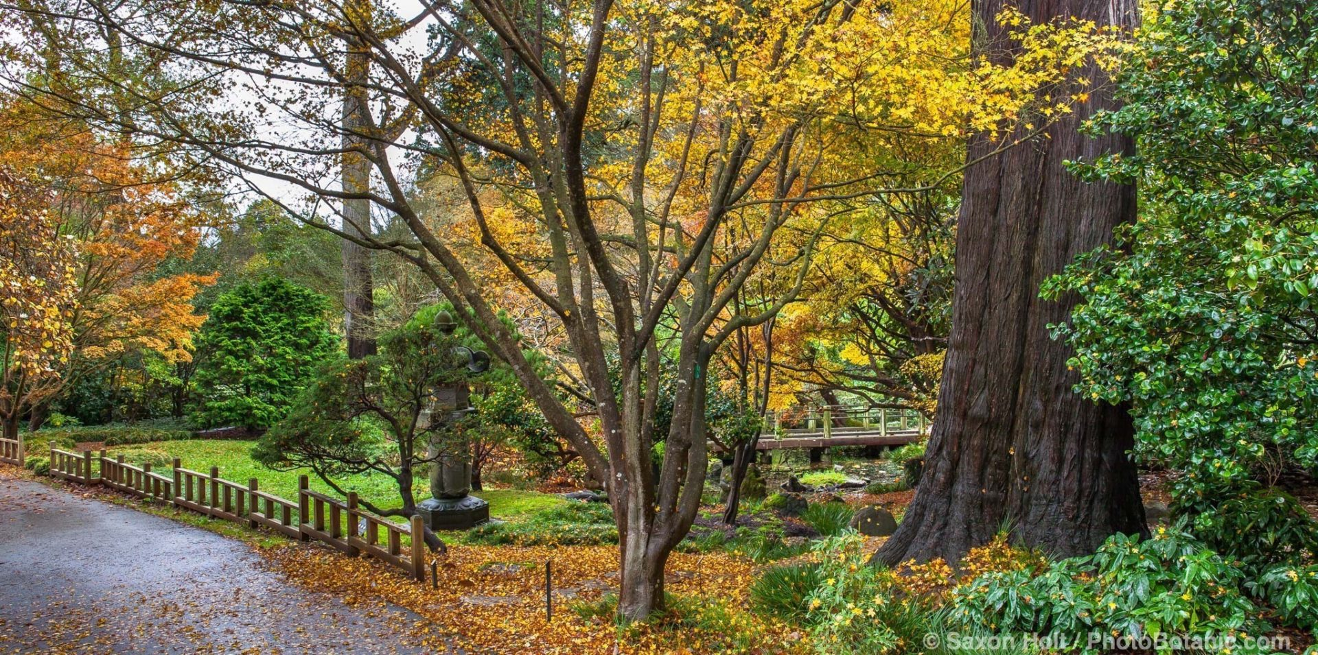 Walkway by Moon Viewing Garden in San Francisco Botanical Garden with fall foliage color in Japanese Maple trees, Acer palmatum.