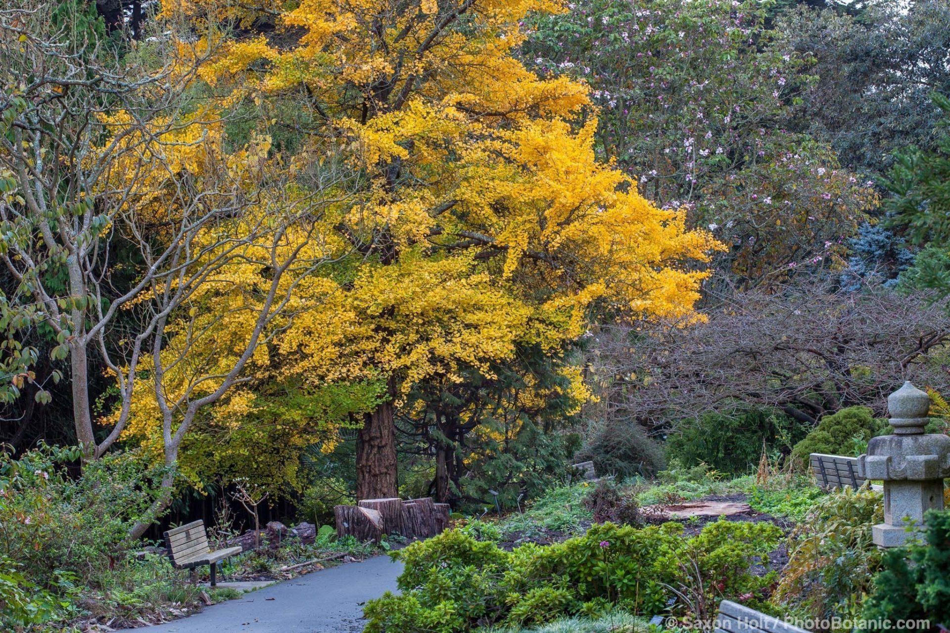 Ginkgo biloba tree wiht yellow falll foliage color in San Francisco Botanical Garden