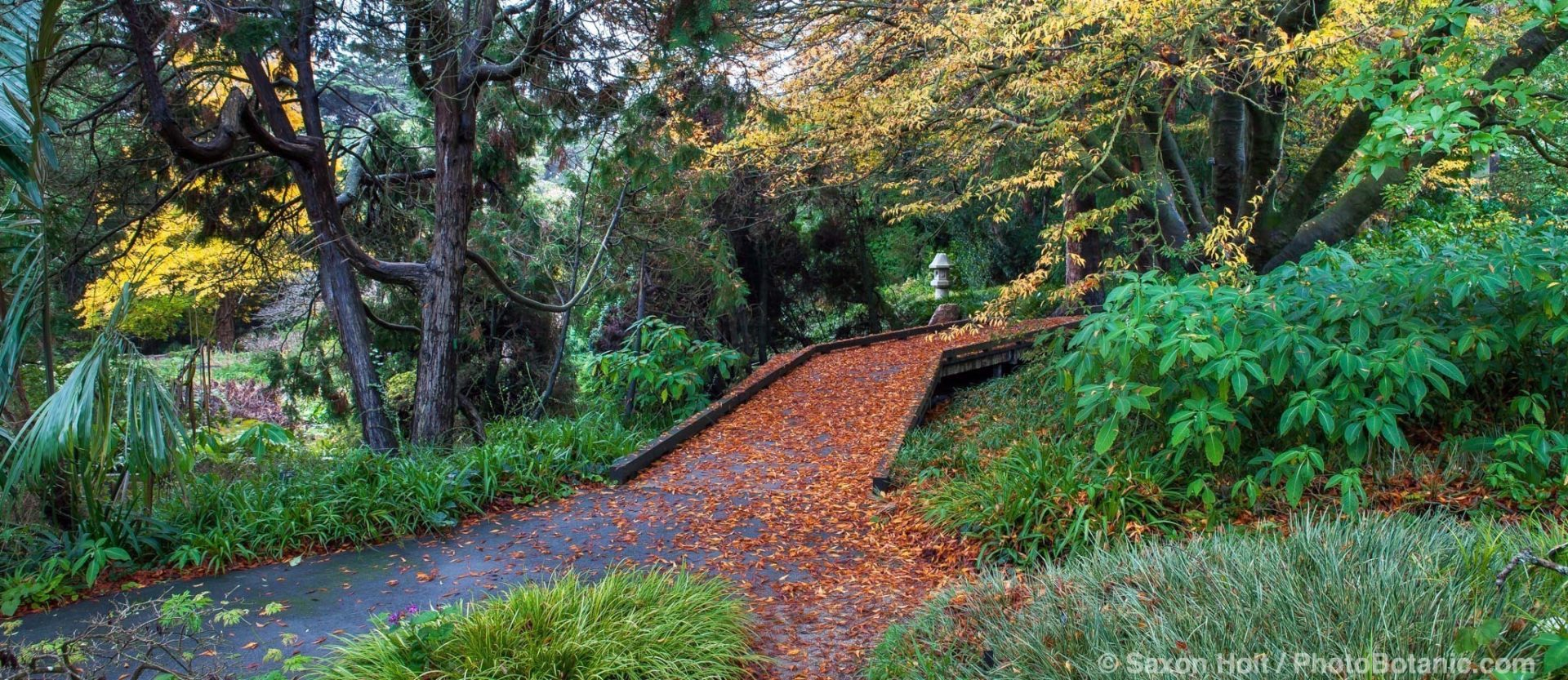 Boardwalk path covered with autumn leaves of Plum tree in Temperate Asia section of San Francisco Botanical Garden