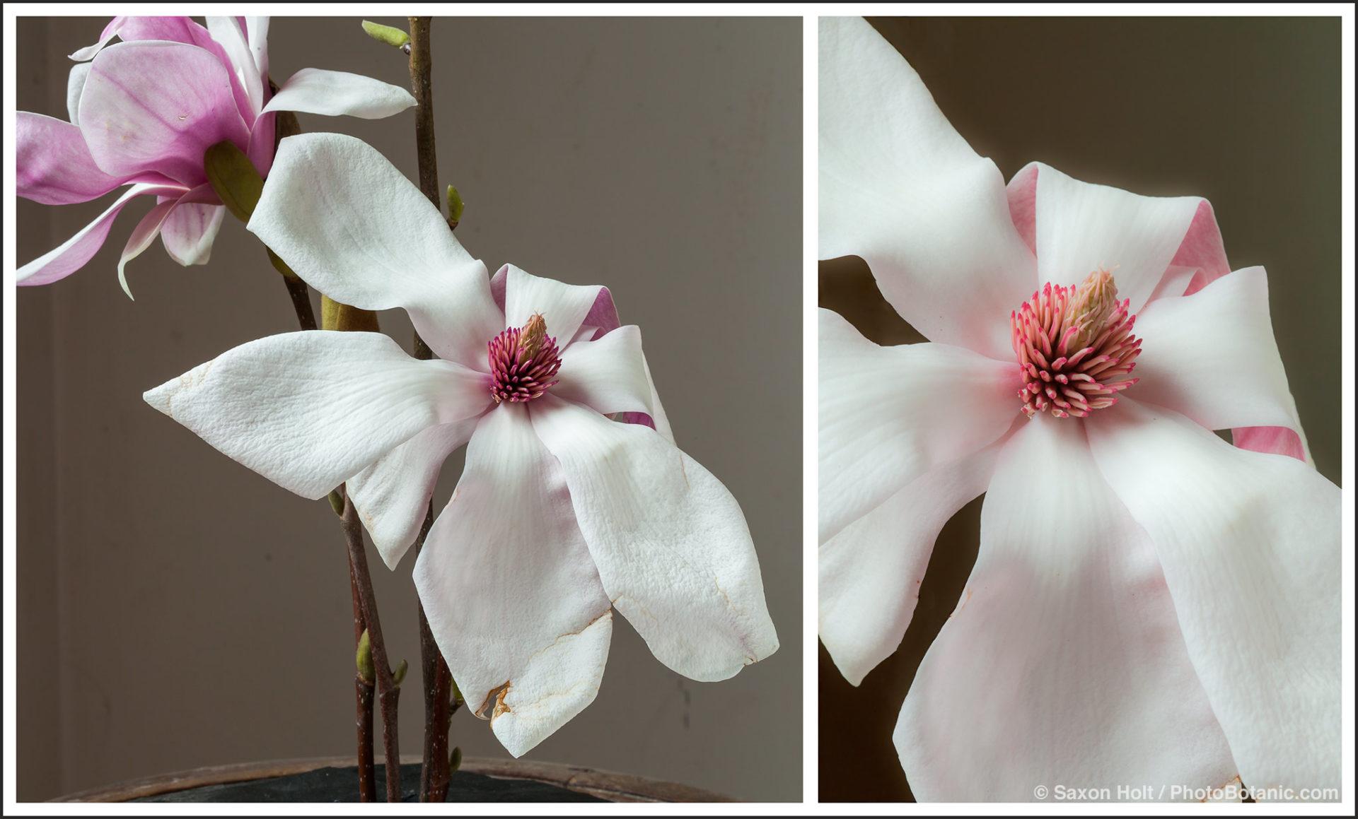 Magnolia soulageana flower isolation with photoshop