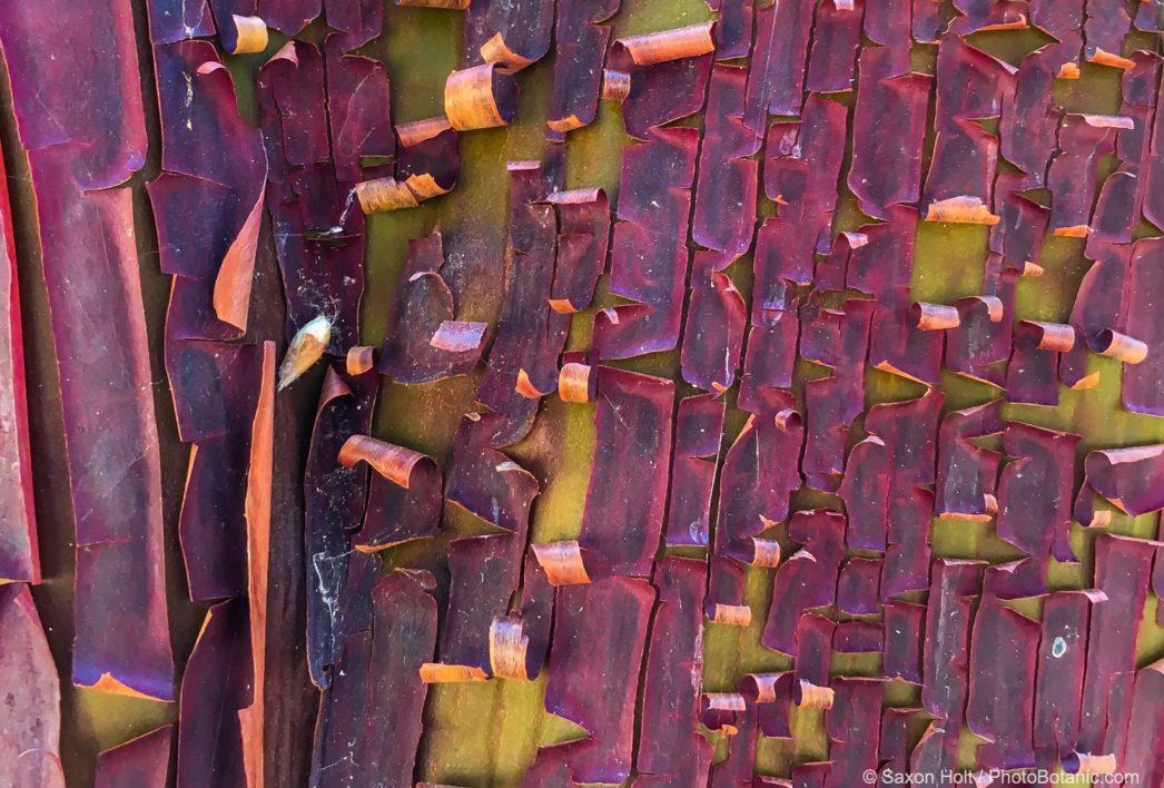 Summertime Bark break Manzanita exfoliating