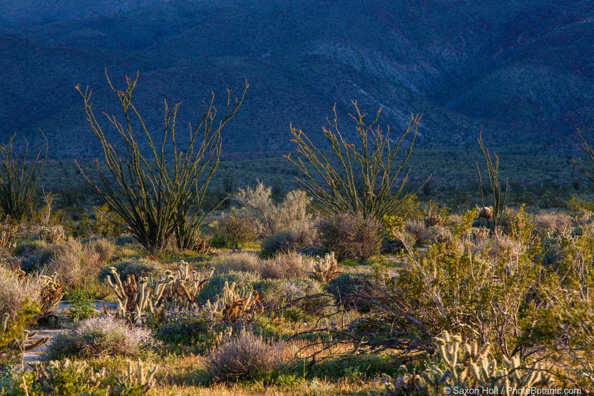 Desert landscape of California native plants in early morning, Glorietta Canyon, Anza Borrego State Park