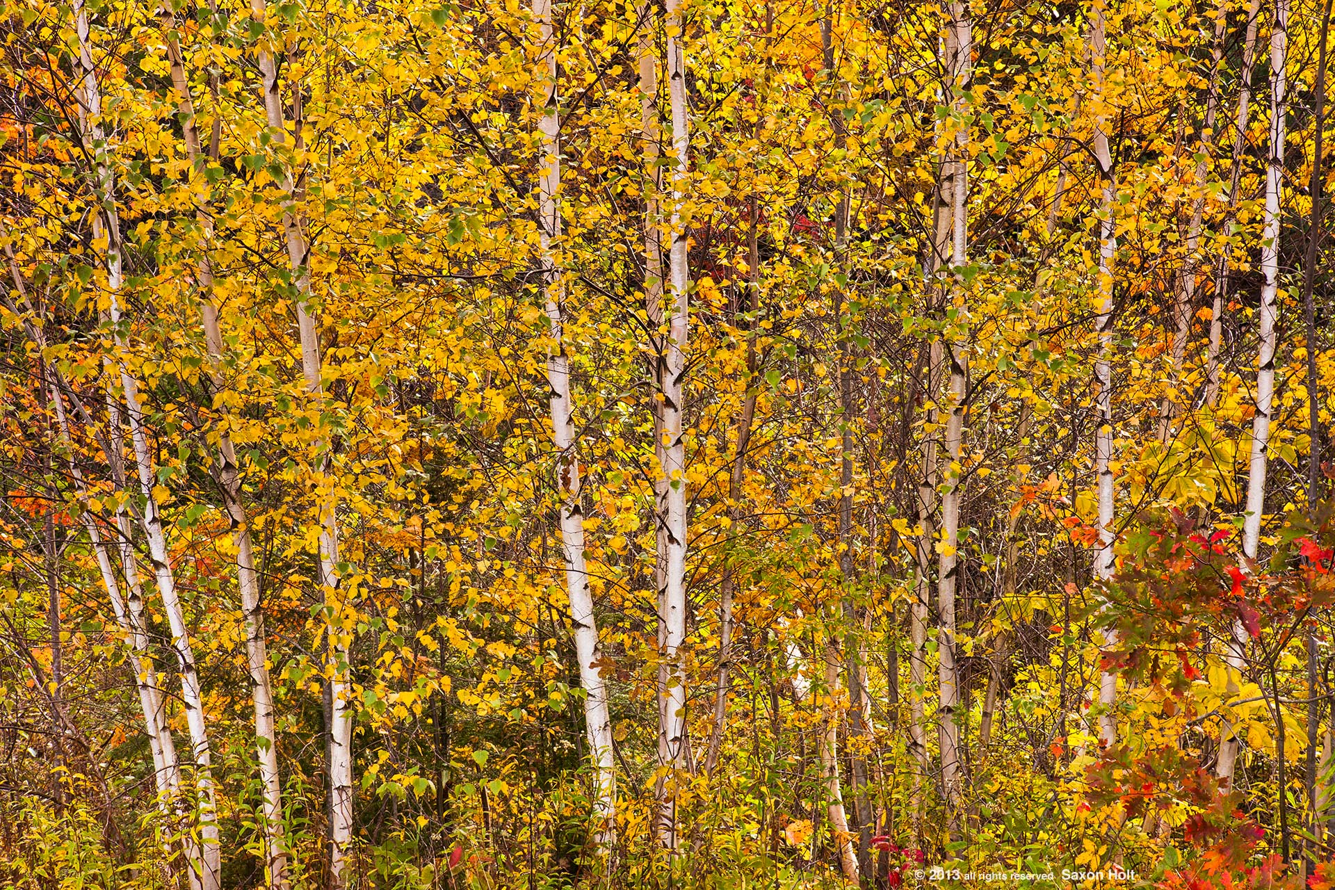 Tapestry of trees in fall color at Knapp Pond, Knapp Brook Wildlife Area, autumn in Vermont