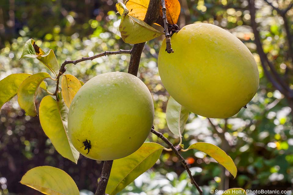Pseudocydonia sinensis, Chinese quince, fruit on tree in autumn, Western Hills Garden