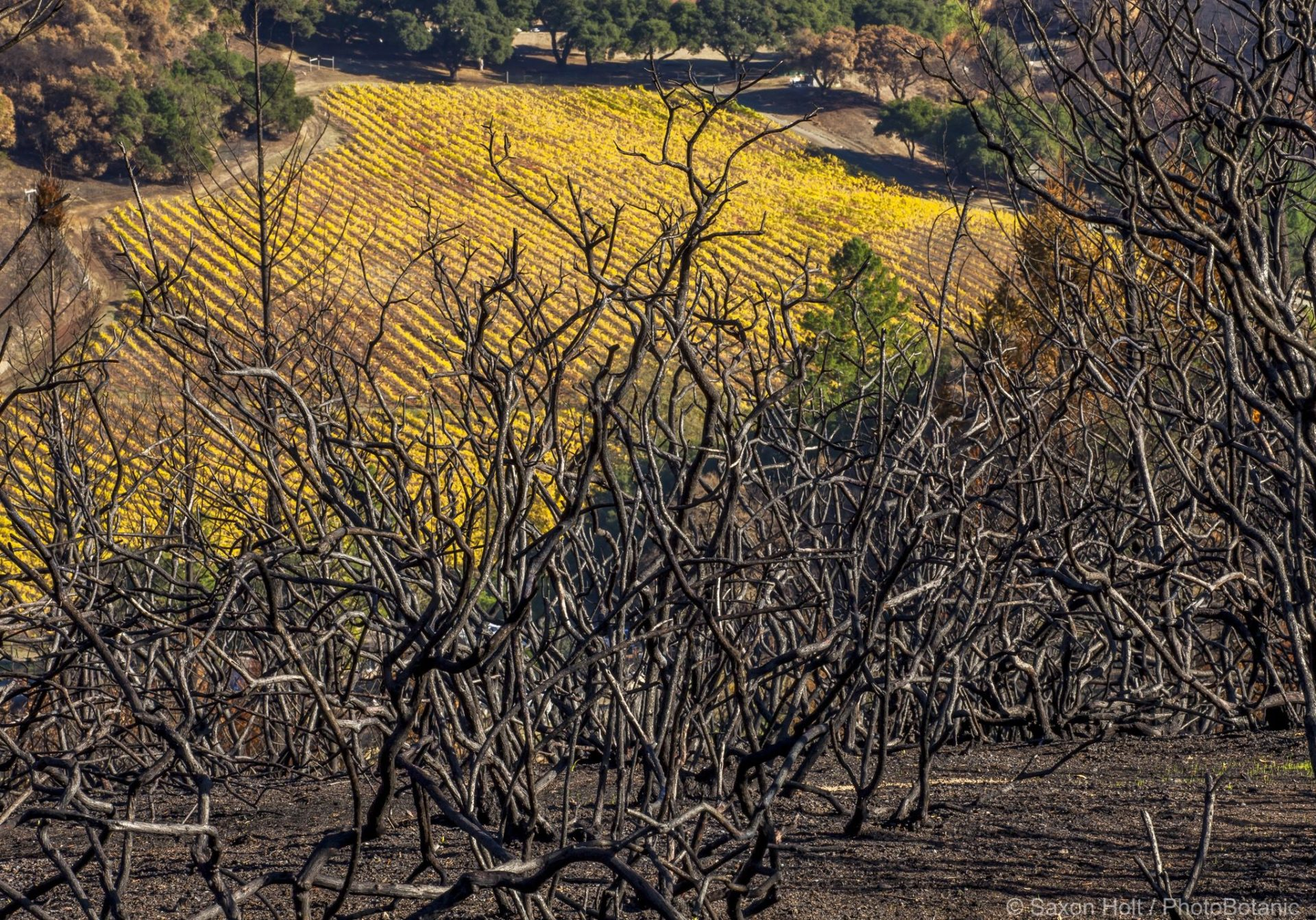 California native landscape, burned manzanita with vineyard in distance; 2017 Sonoma Tubbs fire, Pepperwood Preserve