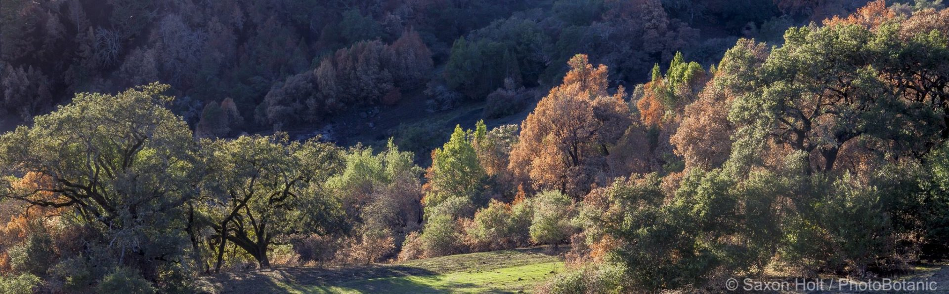 California native mixed Oak woodland landscape panorama, recovery after 2017 Sonoma fires, Pepperwood Preserve