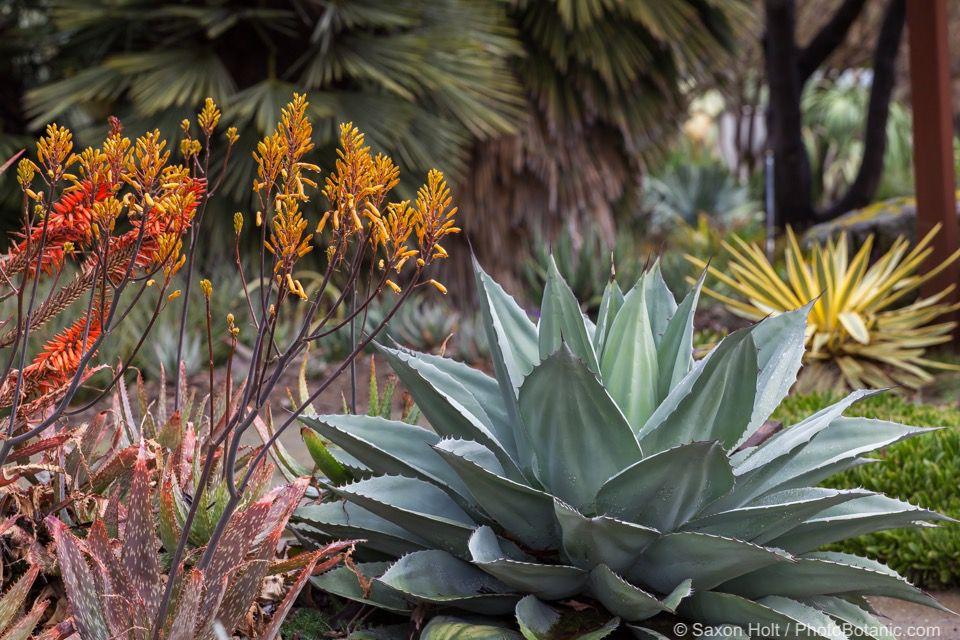 Succulents in Ruth Bancroft Garden